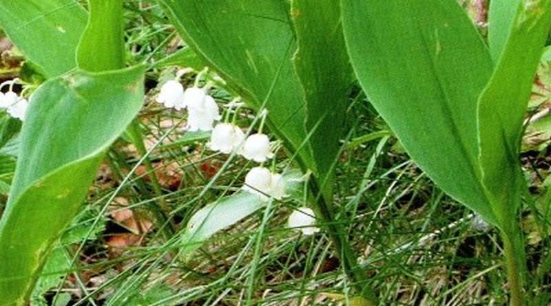 Toksično ljekovito bilje - Đurđica