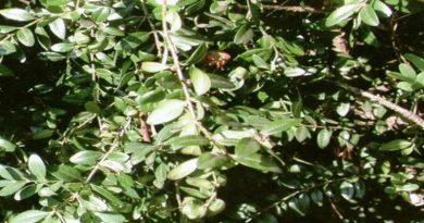 Toksično ljekovito bilje - Šimšir