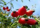 Šipak ili divlja ruža