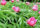 Toksično ljekovito bilje - Božur