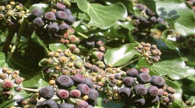 Toksično ljekovito bilje - Bršljan