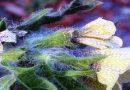 Toksično ljekovito bilje - Bunika