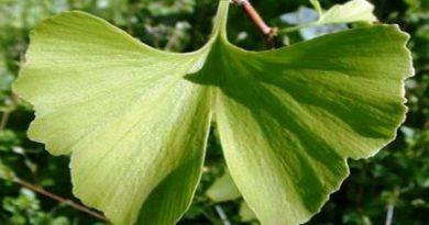 Ljekoviti pripravci od biljke ginko
