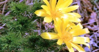 Toksično ljekovito bilje - Gorocvijet