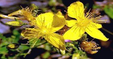 Ljekovita biljka - Gospina trava