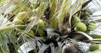 kokosov orah