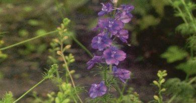 Toksično ljekovito bilje - Kokotić