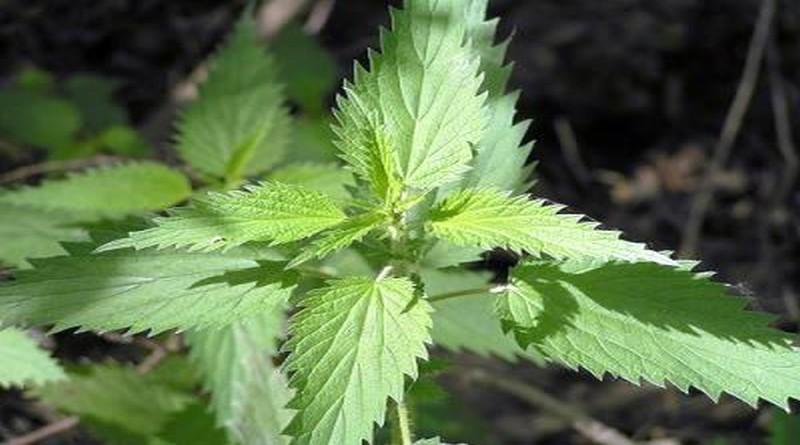 Ljekovita biljka - Kopriva