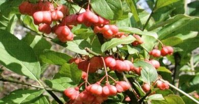 Toksično ljekovito bilje - Kurika