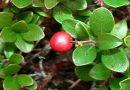 Ljekovita biljka Medvjetka