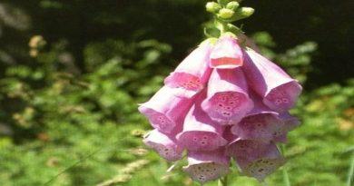 Toksično ljekovito bilje - Naprstak