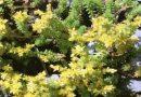 Toksično ljekovito bilje - Oštri žednjak
