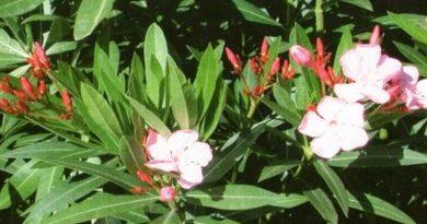 Toksično ljekovito bilje - Oleandar