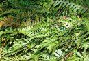 Toksično ljekovito bilje – Paprat obična