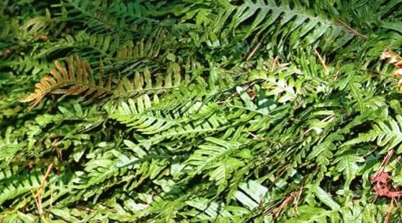 Toksično ljekovito bilje - Paprat obična