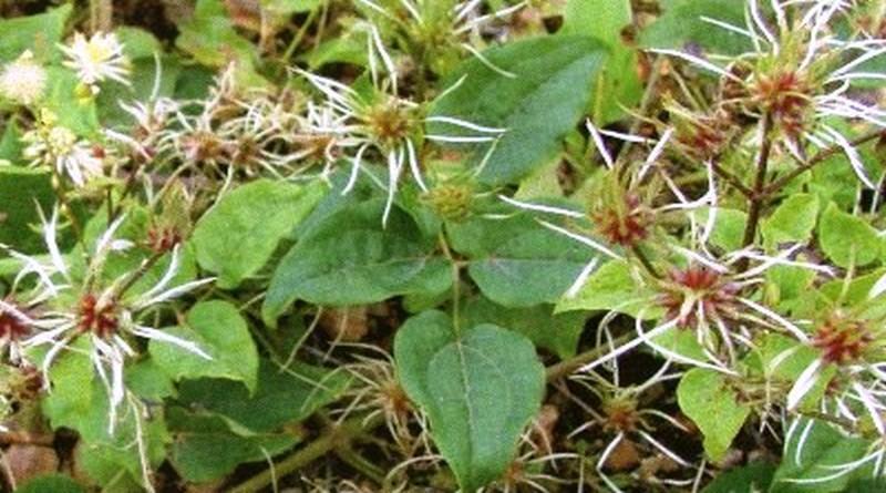 Toksično ljekovito bilje - Pavitina