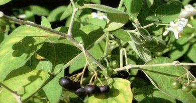 Toksično ljekovito bilje - Pomoćnica