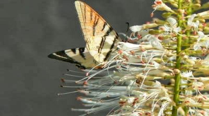cvijet kestena