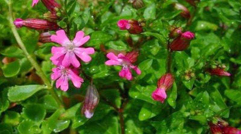 sapunika cvijet
