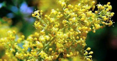 ivanjsko cvijece