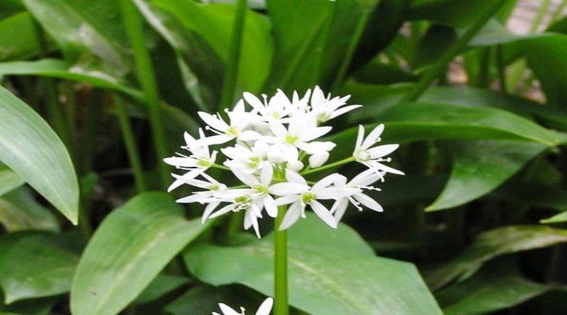 srijemus cvijet