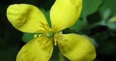 cvijet rosopas