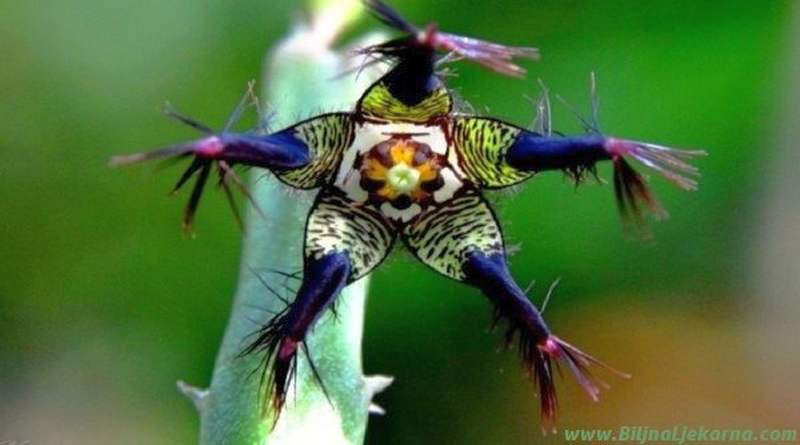 kaktus BiljnaLjekarna