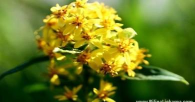 ljekovita biljka zlatnica BiljnaLjekarna