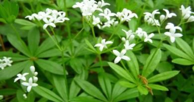 ljekovita biljka lazarkinja Bbiljna Apoteka