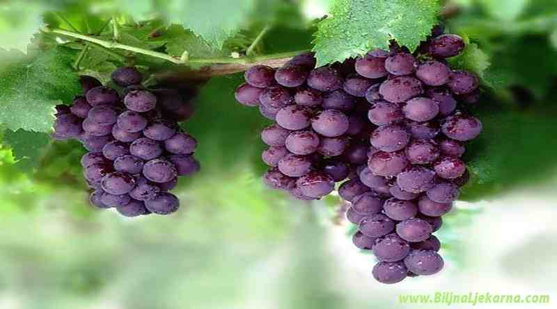 grape Biljna Ljekarna