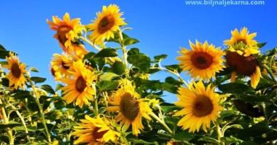 suncokret Biljna Ljekarna