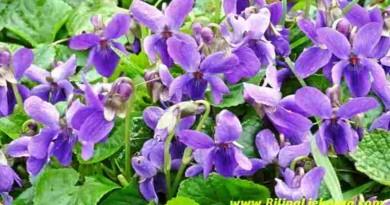viola Biljna Ljekarna