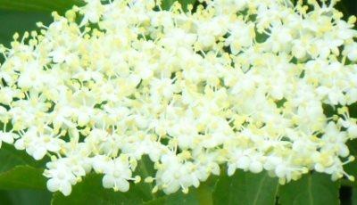 bazga cvijet