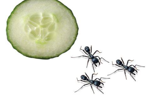 krastavac protiv mrava