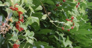 Toksično ljekovito bilje – Bljušt