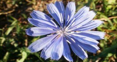 Ljekovita biljka - Cikorija