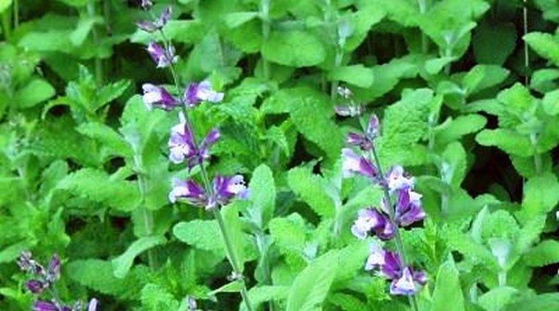 Ljekovita biljka - Kadulja