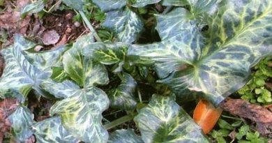 Toksično ljekovito bilje - Kozlac