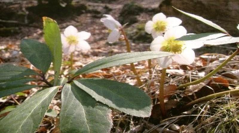 Toksično ljekovito bilje - Kukurijek crni