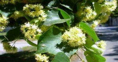 Ljekovita biljka - Lipa
