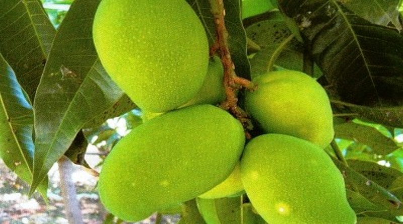 Mangovac