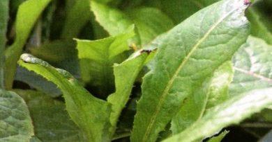 Toksično ljekovito bilje - Salata divlja