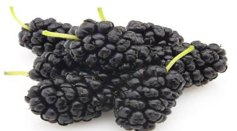 crni dud