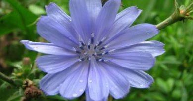 cvijet cikorije