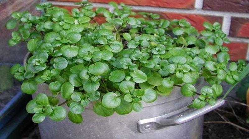 biljka potocarka