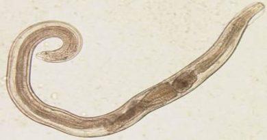 crijevni parazit pinworm