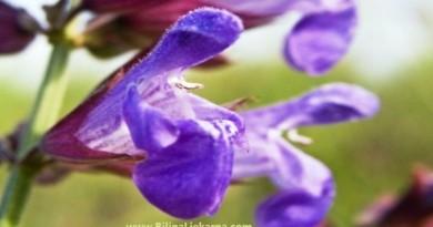 kadulja cvijet BiljnaLjekarna