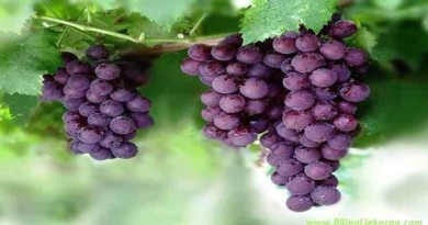 grape Biljna Ljekarna