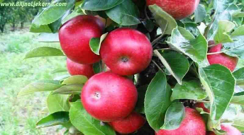jabuka Biljna Ljekarna