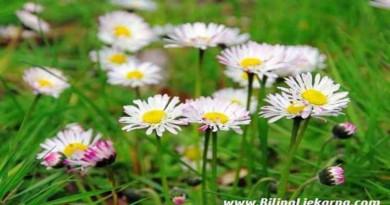 Tratincica daisy Biljna Ljekarna